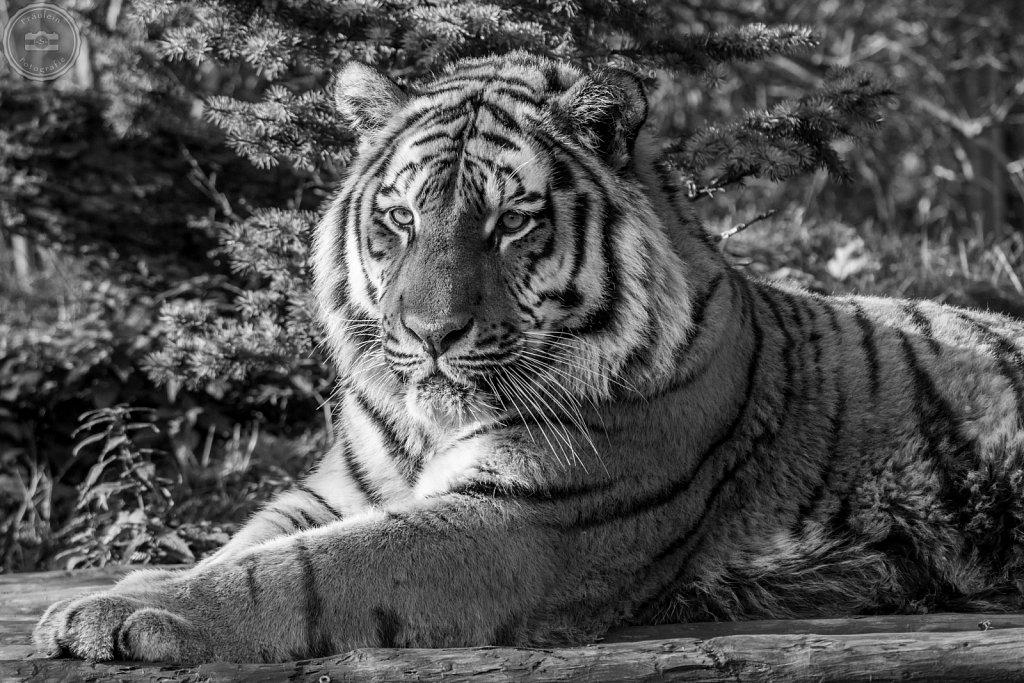 Sibirischer Tiger aus dem Zoo Aschersleben