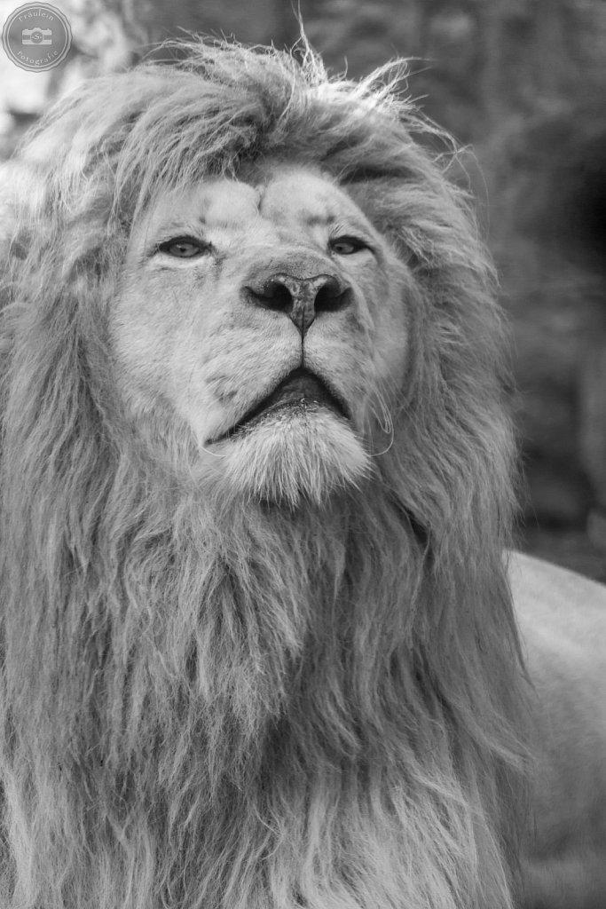 Weißer Löwe aus dem Zoo Aschersleben